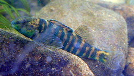 banded darter, Etheostoma zonale