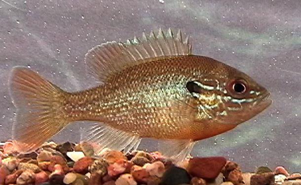 Jonahs Aquarium... Lepomis auritus, redbreast sunfish 4