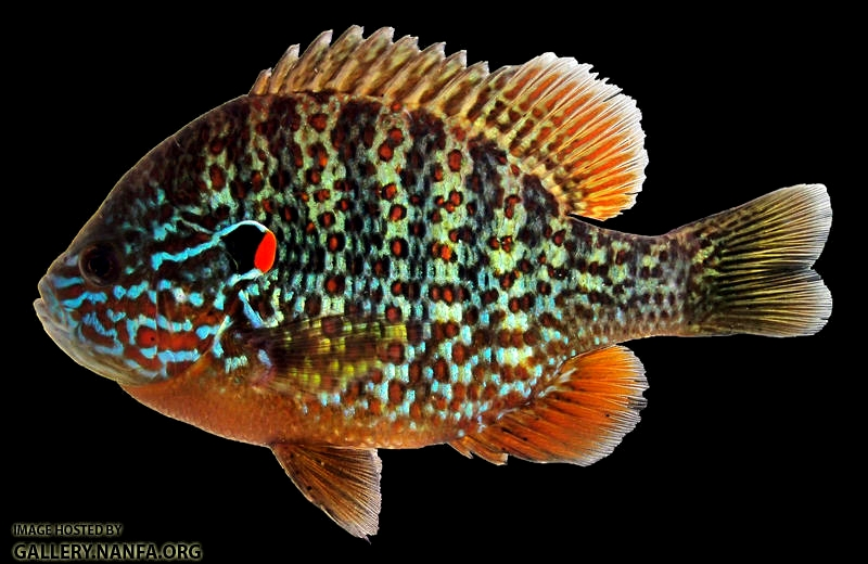 Jonah 39 s aquarium lepomis gibbosus 02 pumpkinseed for Bluegill fish tank