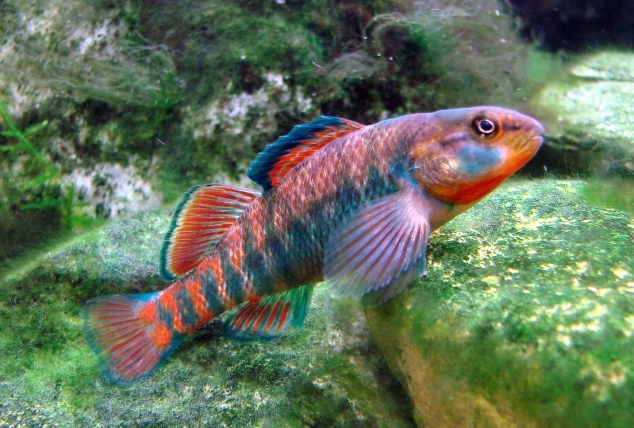 jonah 39 s aquarium etheostoma caeruleum 07 rainbow darter. Black Bedroom Furniture Sets. Home Design Ideas
